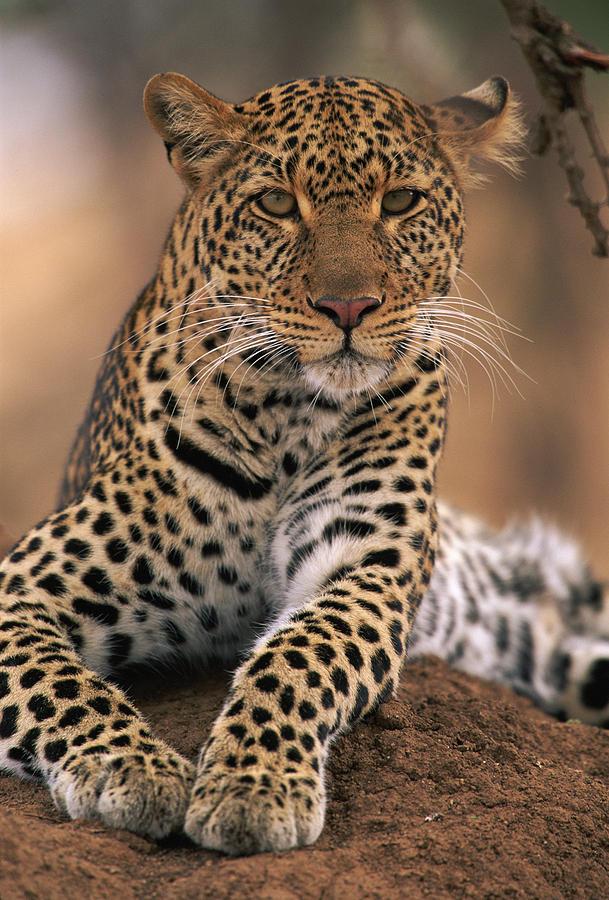 Leopard Panthera Pardus, Masai Mara Photograph