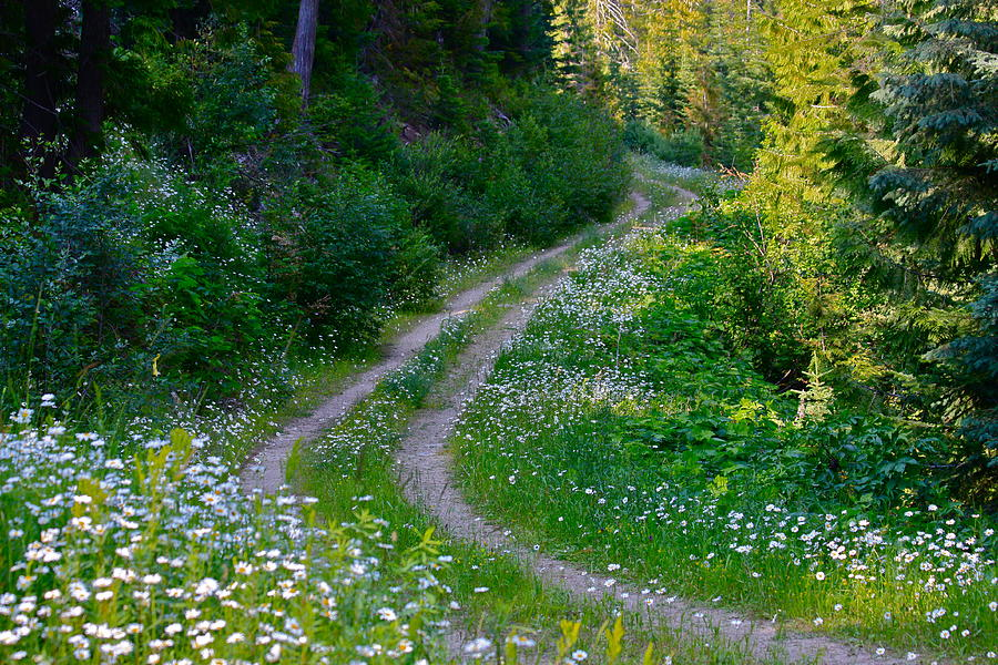 Life Is A Journey On A Road Lined With Daisies Photograph