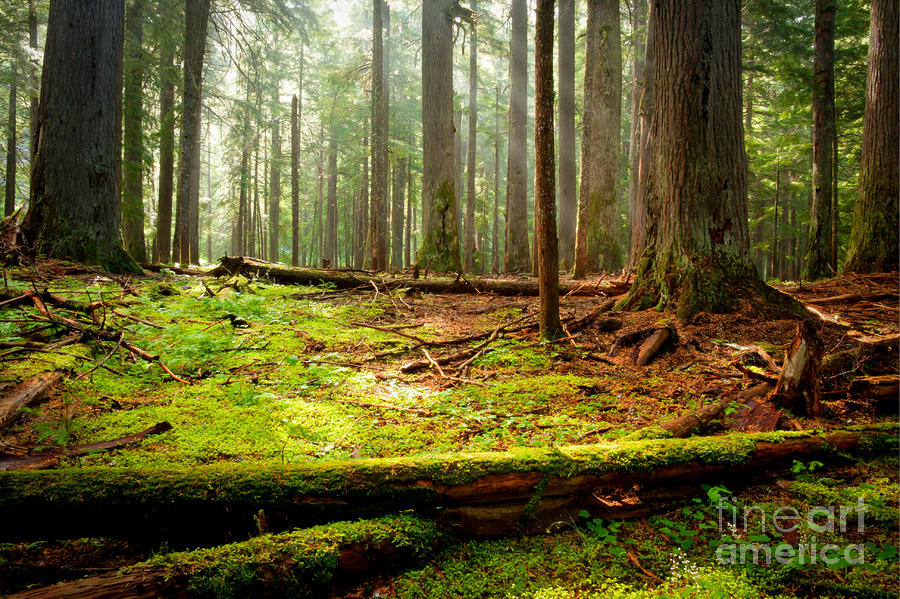 Light In The Forest Photograph  - Light In The Forest Fine Art Print