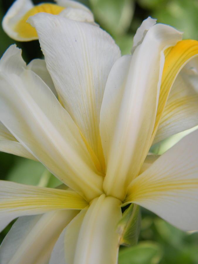 Light Yellow Stripes On White Siberian Iris Photograph by ...