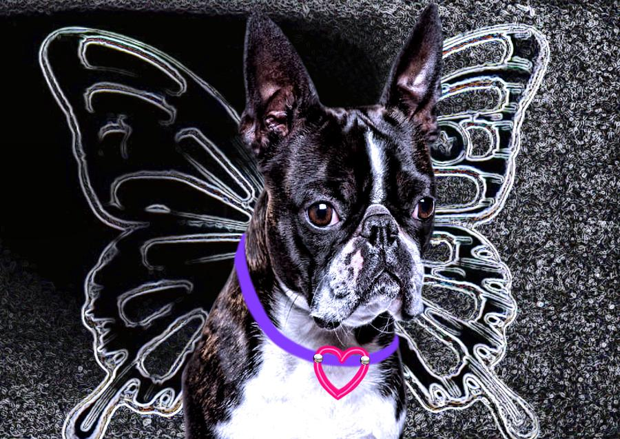 lil Angels Boston Terrier Photograph  - lil Angels Boston Terrier Fine Art Print