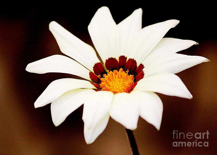 Daisy Photograph - Lil Daisy by Cheryl Frischkorn