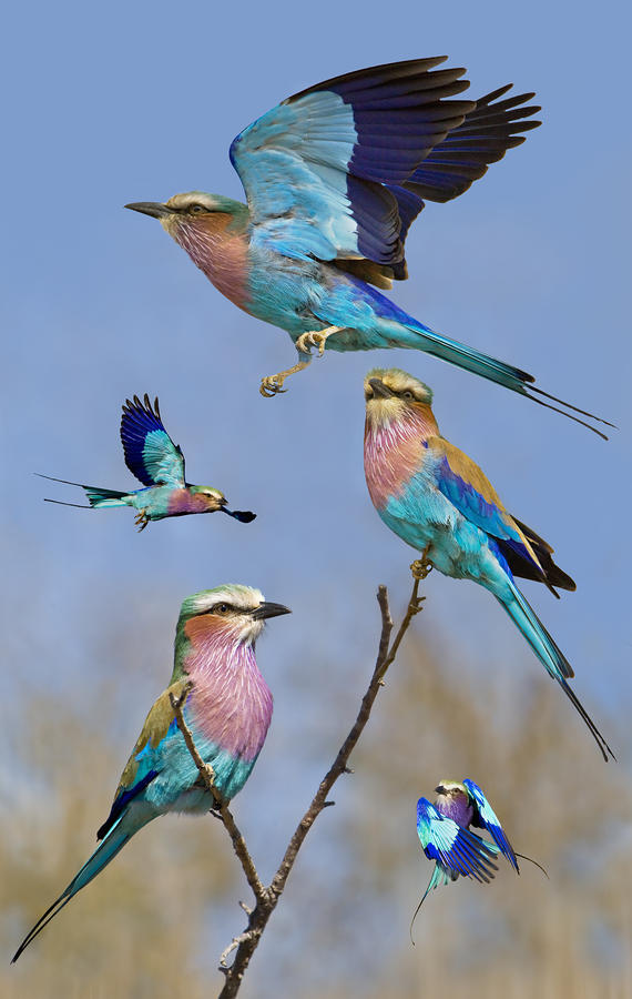 Lilac-breasted Roller Collage Photograph  - Lilac-breasted Roller Collage Fine Art Print