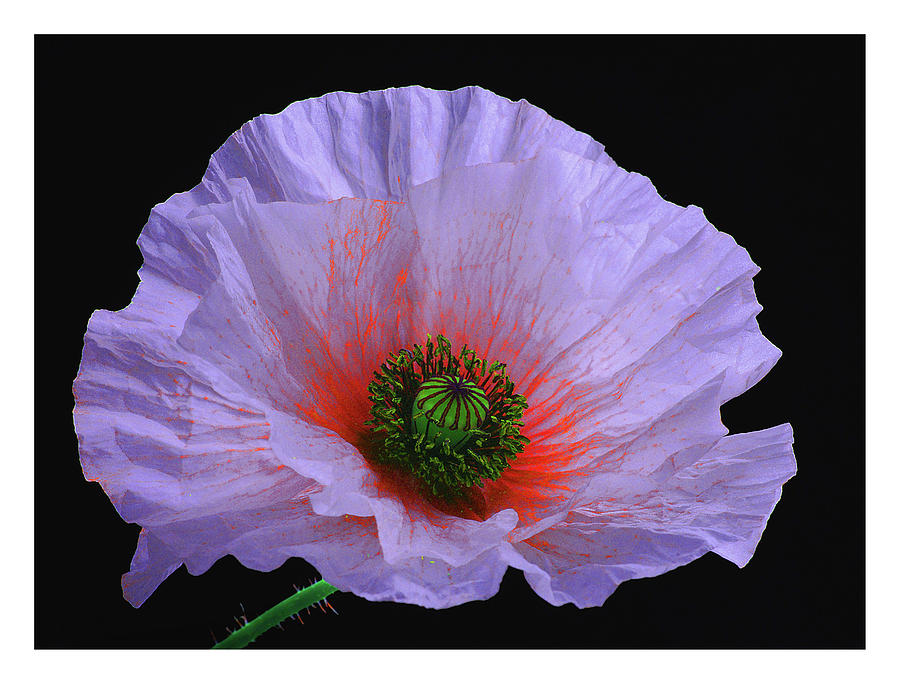Lilac Poppy Photograph
