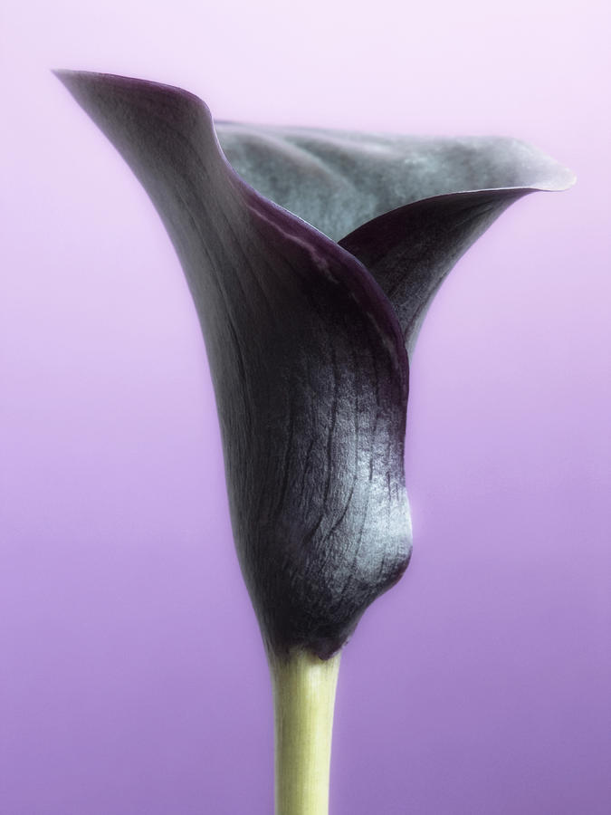 Lilac Purple Calla Flower Photograph  - Lilac Purple Calla Flower Fine Art Print