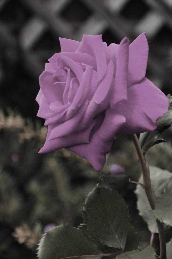 Lilac Rose Photograph