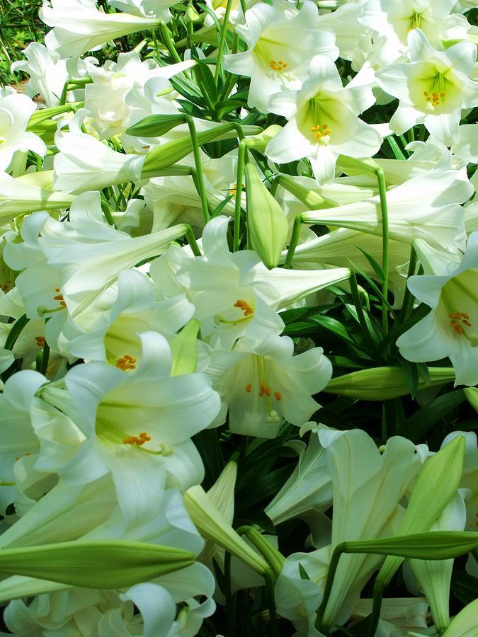 Lilies 11 Photograph