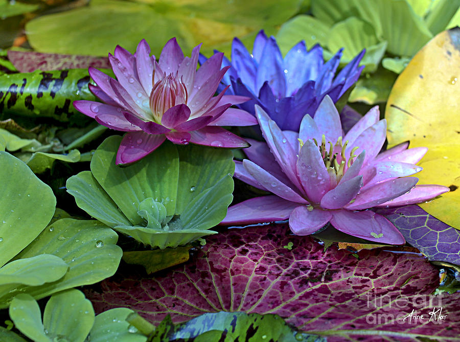 Blue Purple Violet Magenta Water Lily Lilies Photograph - Lilies No. 27 by Anne Klar