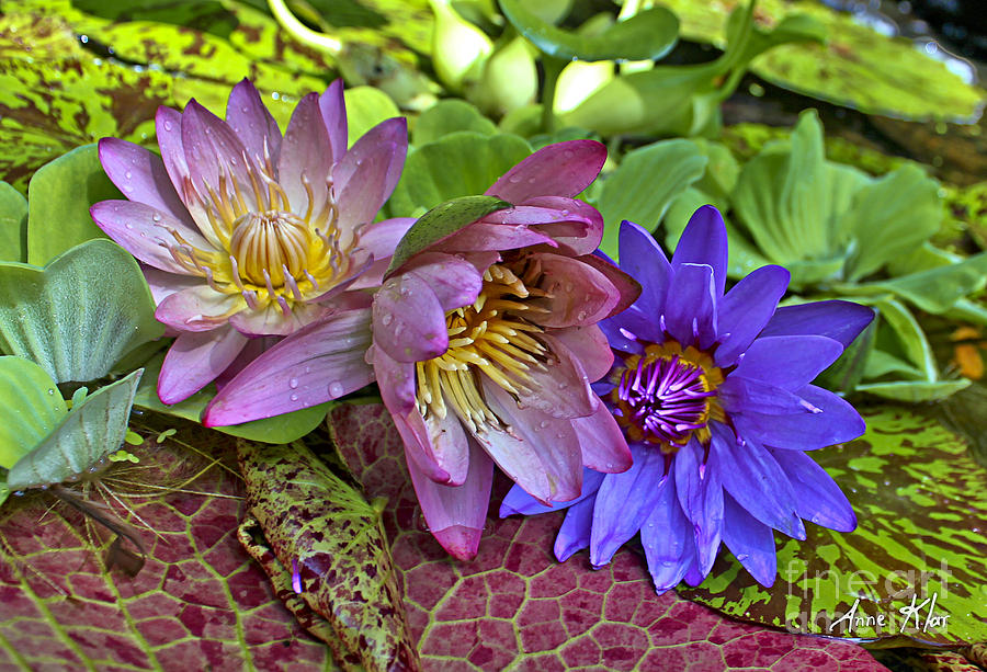 Blue Purple Violet Magenta Pink Flowers Water Lily Lilies Photograph - Lilies No. 29 by Anne Klar