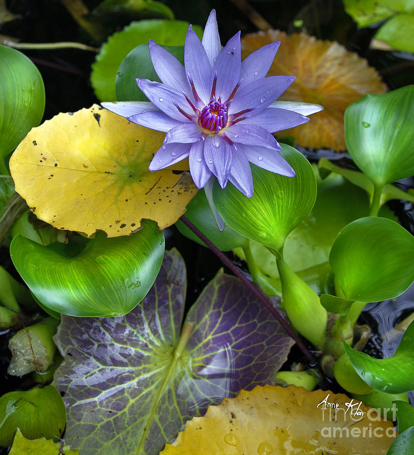 Blue Waterlily Mixed Media - Lilies No. 3 by Anne Klar