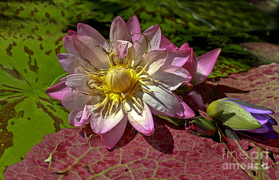 Pink Rose Waterlily Photograph - Lilies No.19 by Anne Klar
