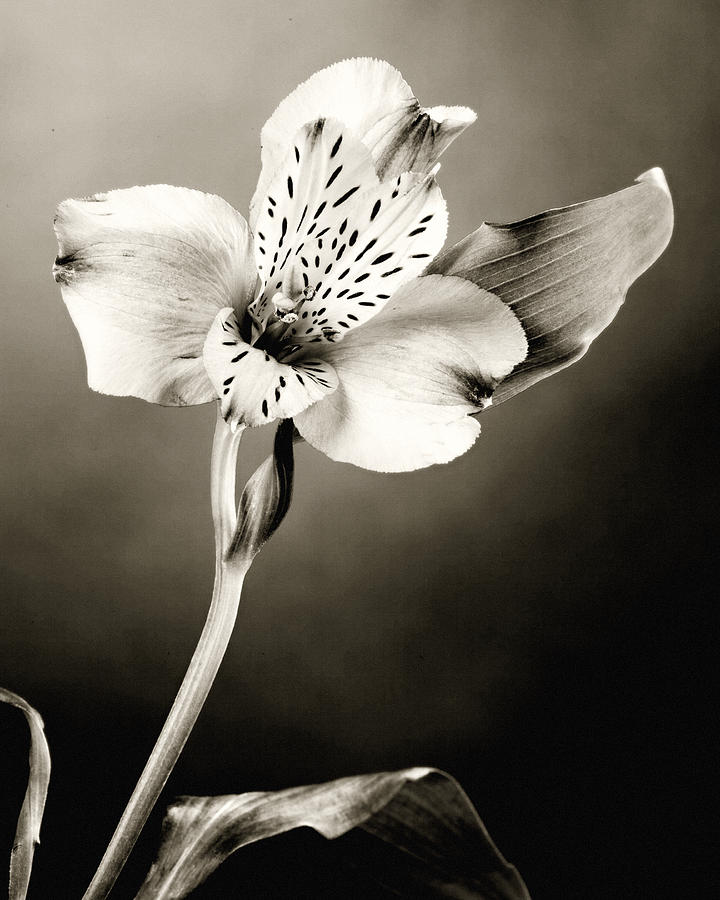 Lilly Flower B And W Photograph