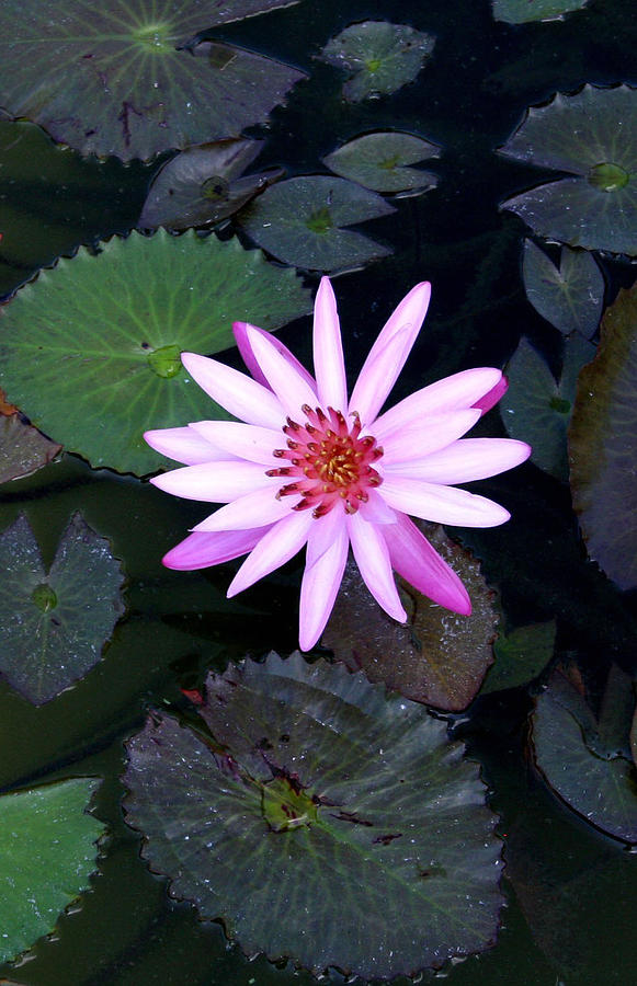 Lilly Pad Photograph