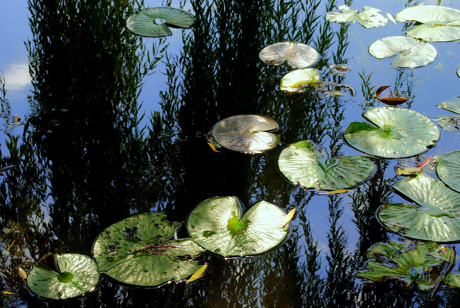 Lilly Pad Reflection Photograph  - Lilly Pad Reflection Fine Art Print