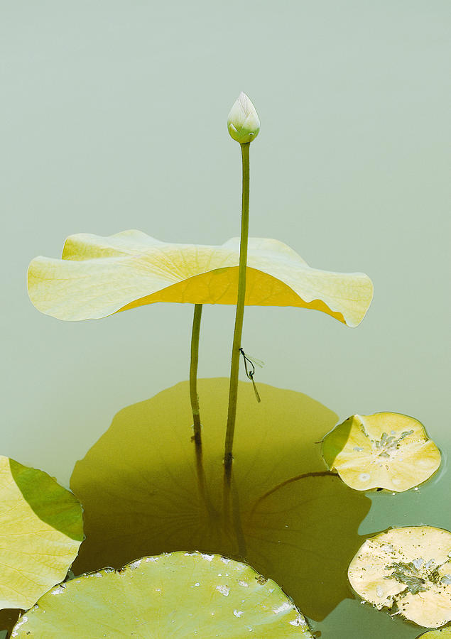Lilly Pad Umbrella. Photograph  - Lilly Pad Umbrella. Fine Art Print