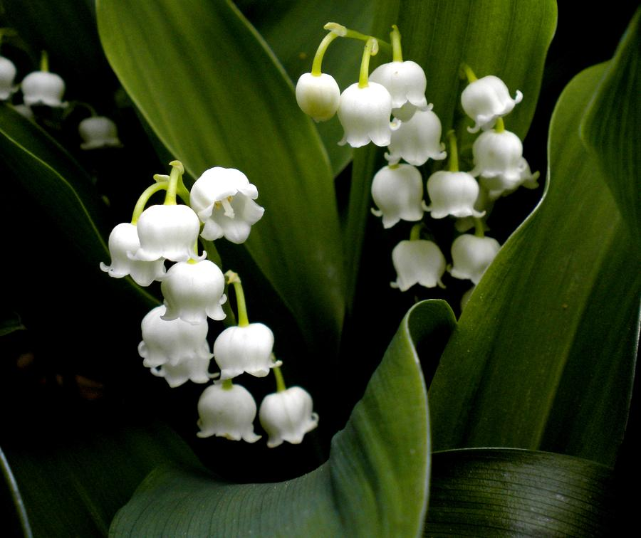 http://images.fineartamerica.com/images-medium-large/lily-of-the-valley-renate-nadi-wesley.jpg