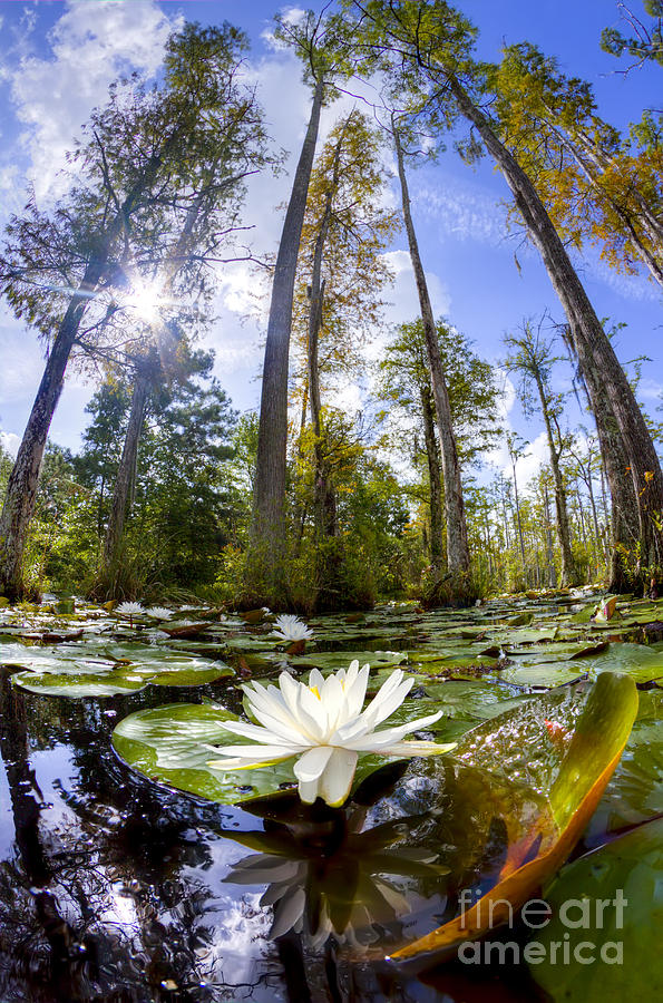 Lily Pad Flower In Cypress Swamp Forest Photograph  - Lily Pad Flower In Cypress Swamp Forest Fine Art Print