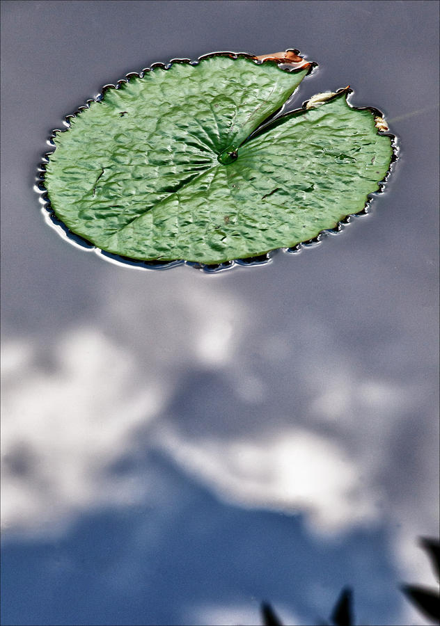Lily Pad Photograph