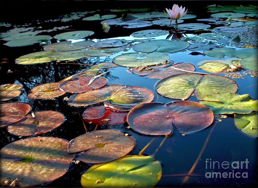 Lily Pads At Sunset Photograph  - Lily Pads At Sunset Fine Art Print