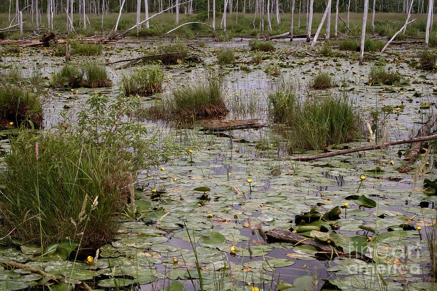 Lilypad Swamp Photograph