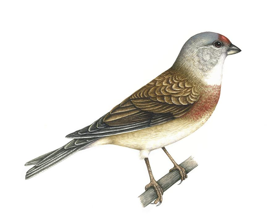 Linnet, Artwork Photograph  - Linnet, Artwork Fine Art Print