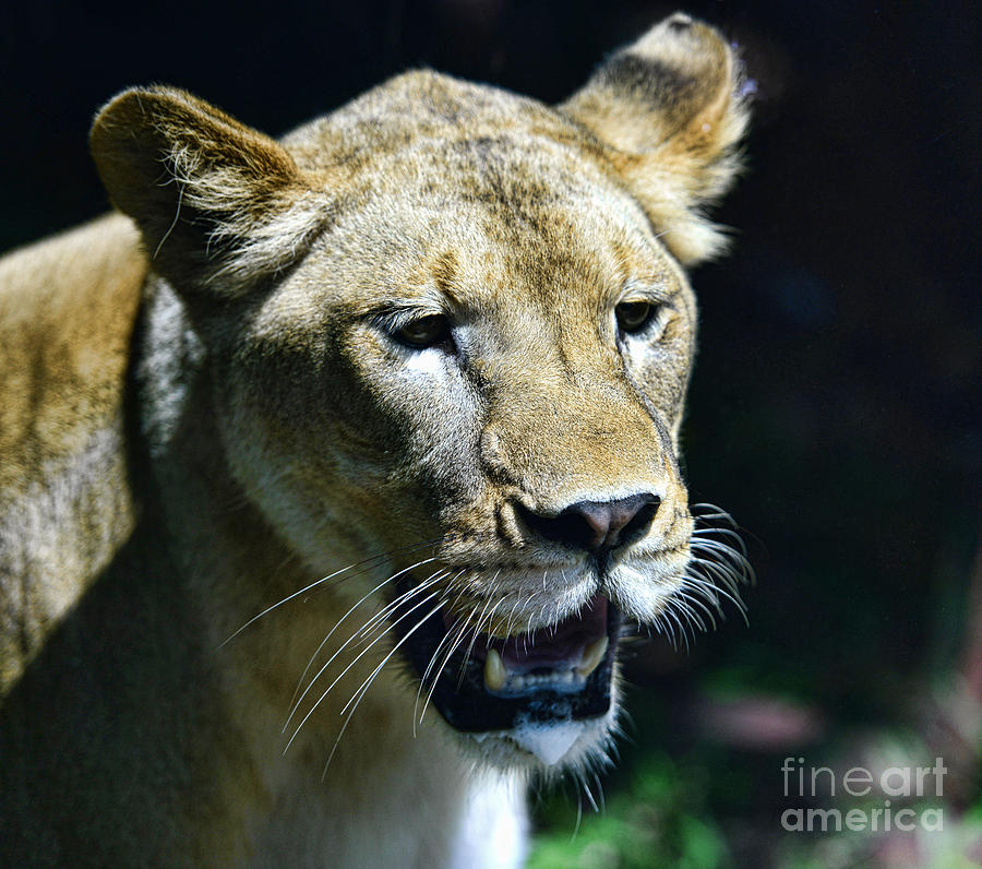 Lion - Endangered Species - Wildlife Photograph