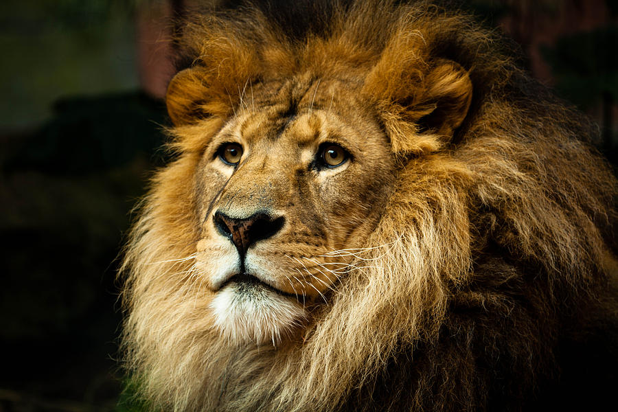 Lion Photograph  - Lion Fine Art Print