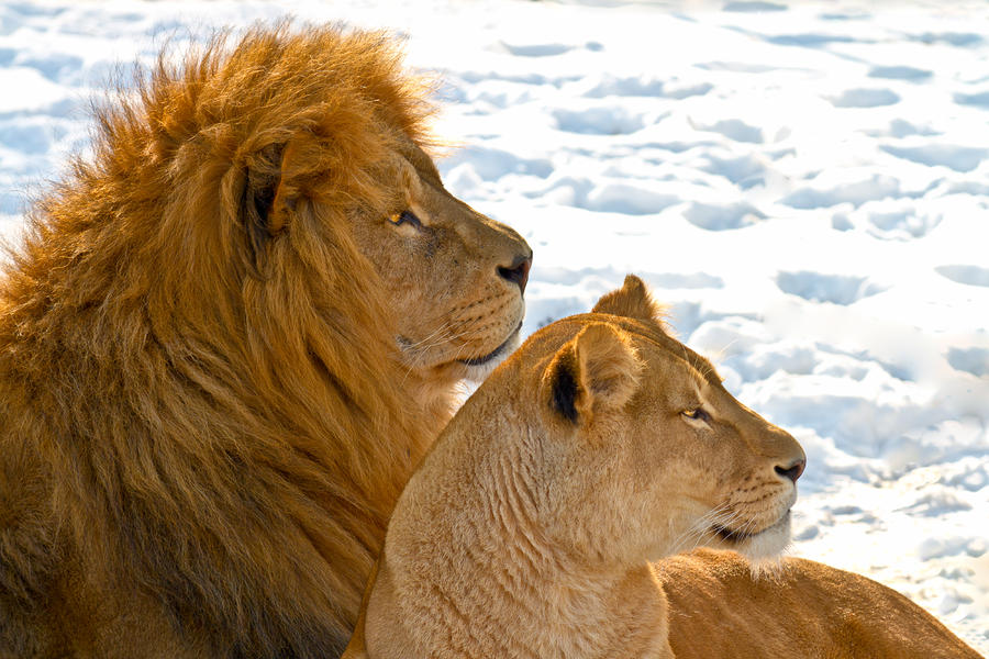 Lion Couple In The Snow Photograph  - Lion Couple In The Snow Fine Art Print