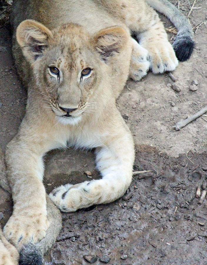 Becky Photograph - Lion Cub by Becky Lodes