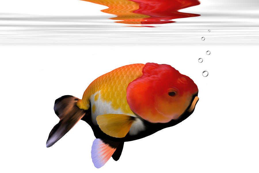 Lion-head Goldfish Painting  - Lion-head Goldfish Fine Art Print