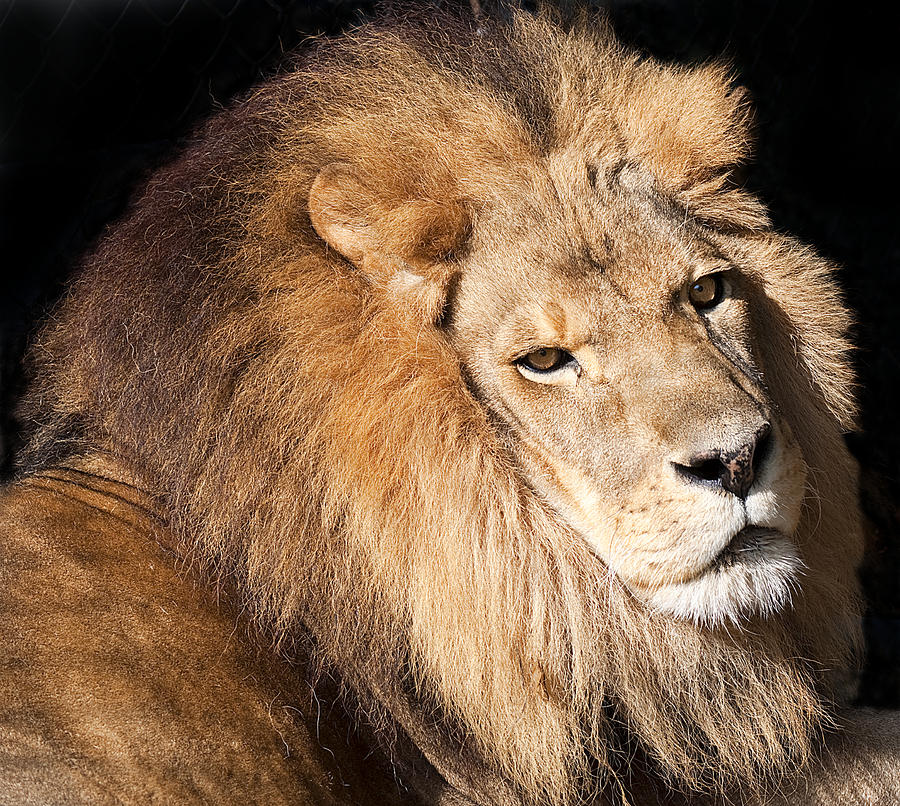 Lion Highlights Photograph  - Lion Highlights Fine Art Print