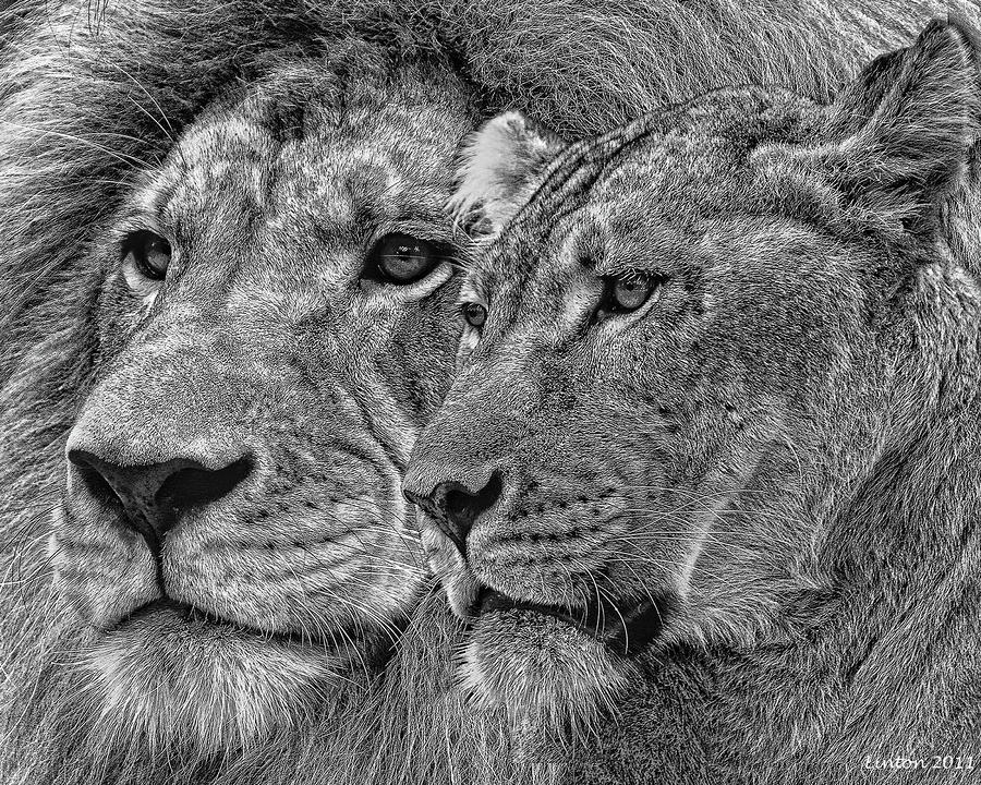 Lion King And Queen Mixed Media  - Lion King And Queen Fine Art Print