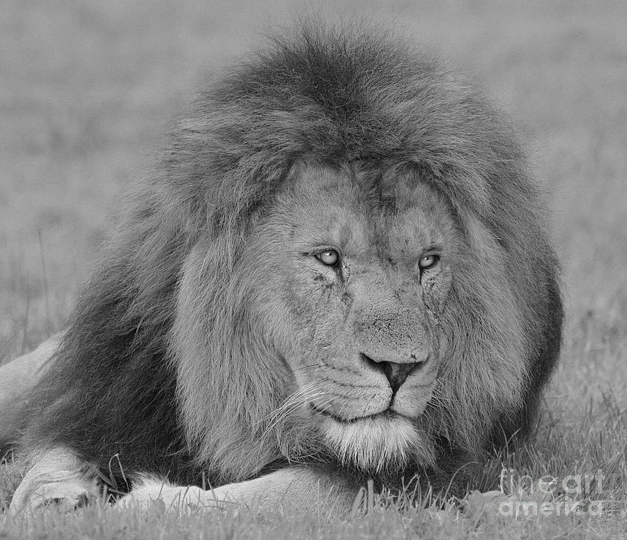 Lion King Photograph  - Lion King Fine Art Print