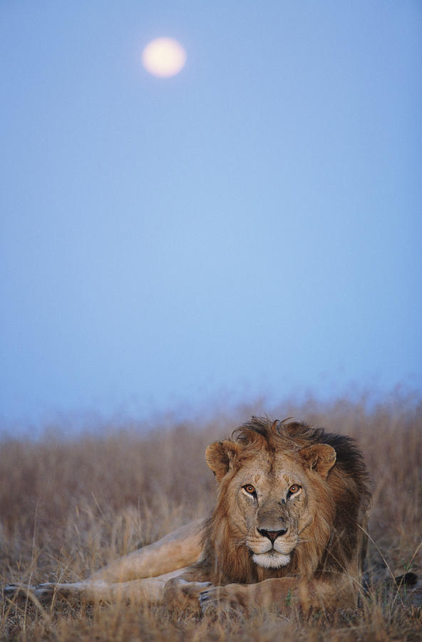 Lion (panthera Leo) Resting In Grass Under Setting Full Moon Photograph