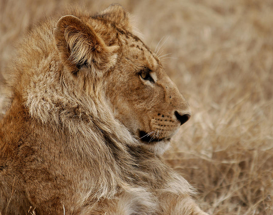 Lioness Photograph  - Lioness Fine Art Print