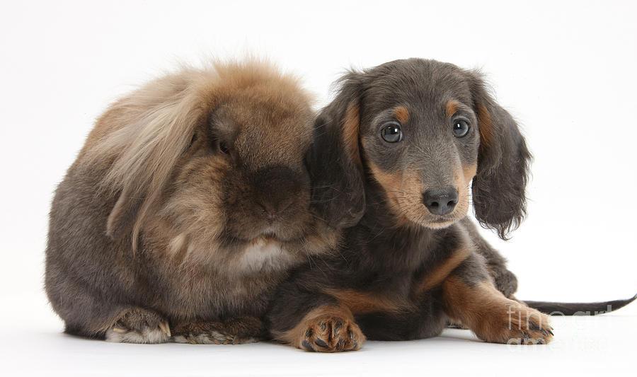 Lionhead-cross Rabbit And Dachshund Pup Photograph
