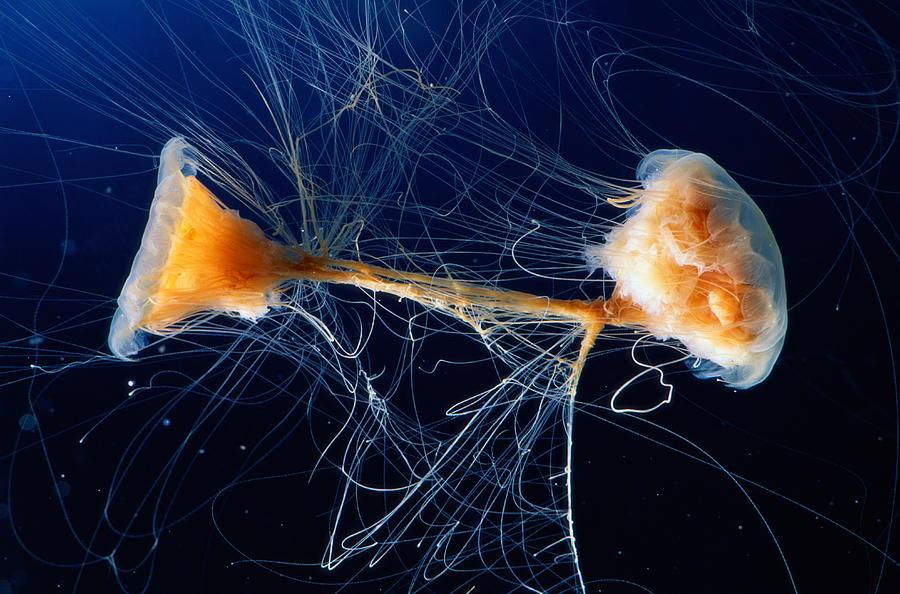 Lions Mane Jellyfish Cyanea Capillata Photograph