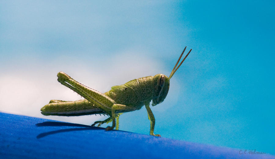 Little Grasshopper Photograph