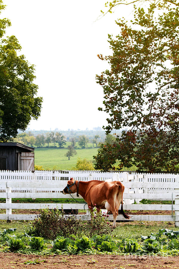 Alone Photograph - Little Jersey Cow by Stephanie Frey