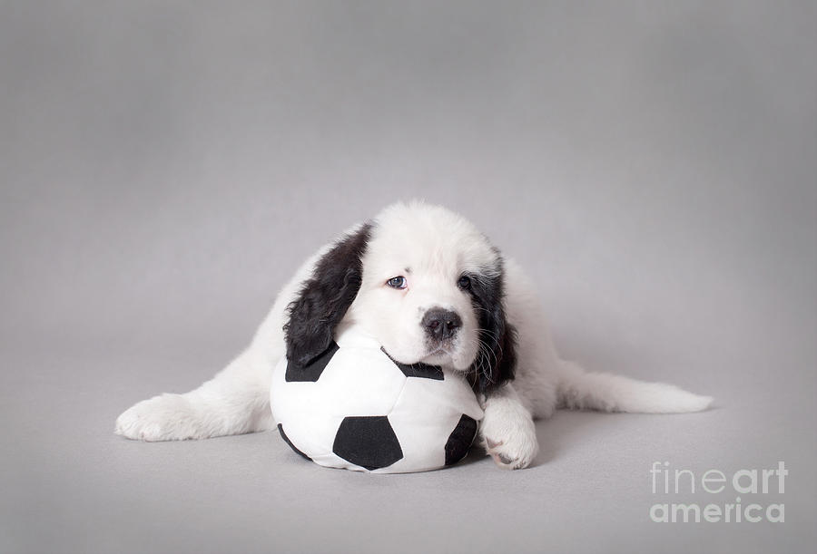 Little Landseer Puppy With Soccer Ball Portrait Photograph  - Little Landseer Puppy With Soccer Ball Portrait Fine Art Print
