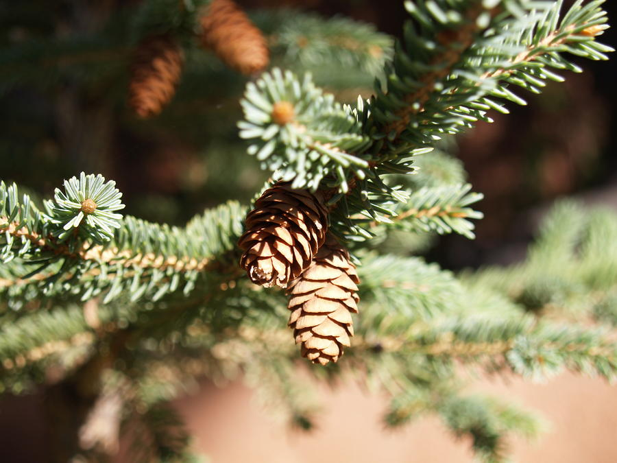 Little Pine Cones Photograph