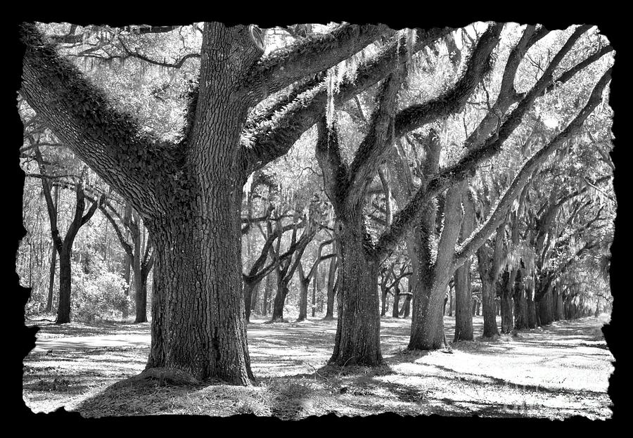 Live Oak Giants - Black And White Framing Photograph