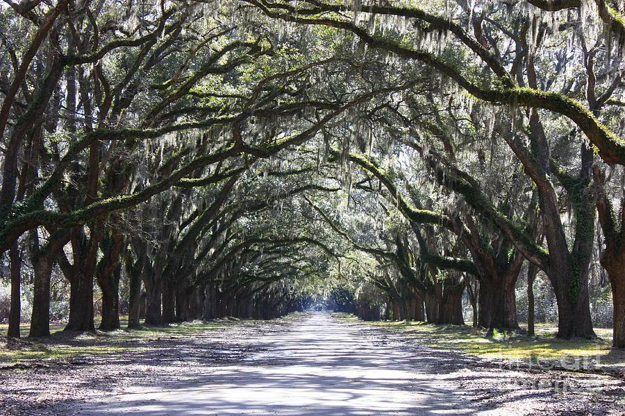 Live Oak Lane In Savannah Photograph
