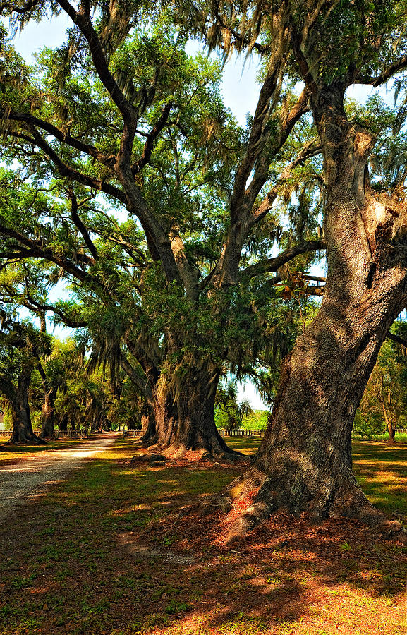Live Oak Lane Photograph  - Live Oak Lane Fine Art Print