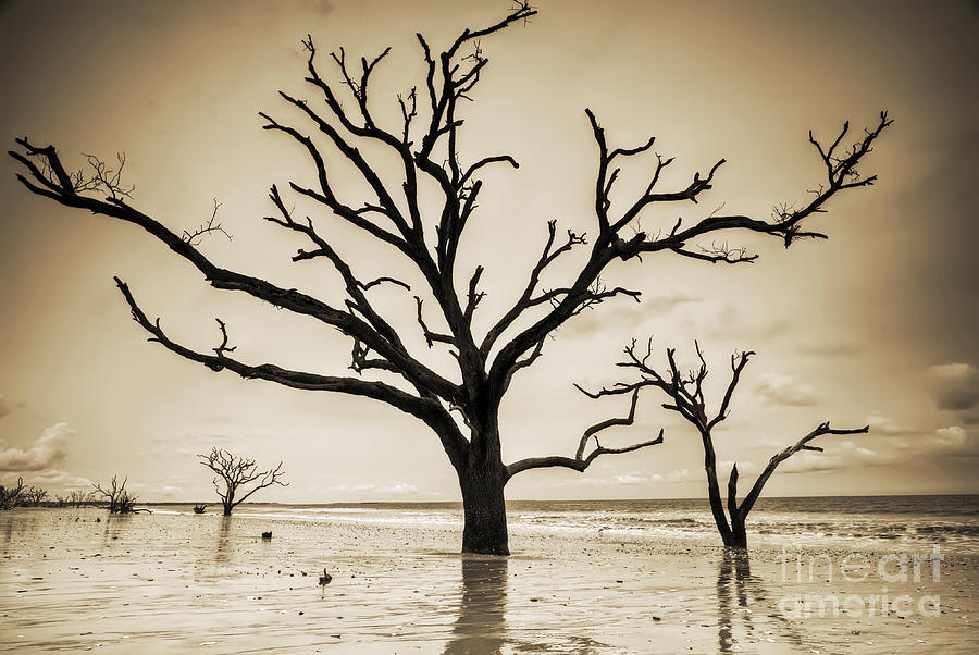 Live Oaks Of Botany Bay Beach Sc Sepia Photograph