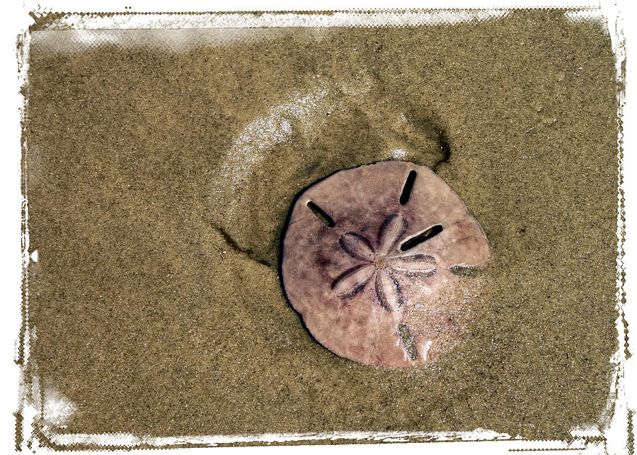 parasitic crad distribution on sand dollars The photo in this technifacts is of one of the mollusks parasitic to the seastar which includes sand dollars  seastars wrapped around a crab.