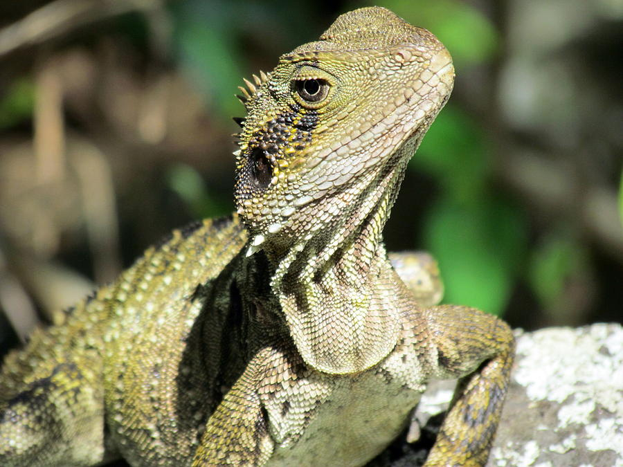 Lizard Photograph  - Lizard Fine Art Print