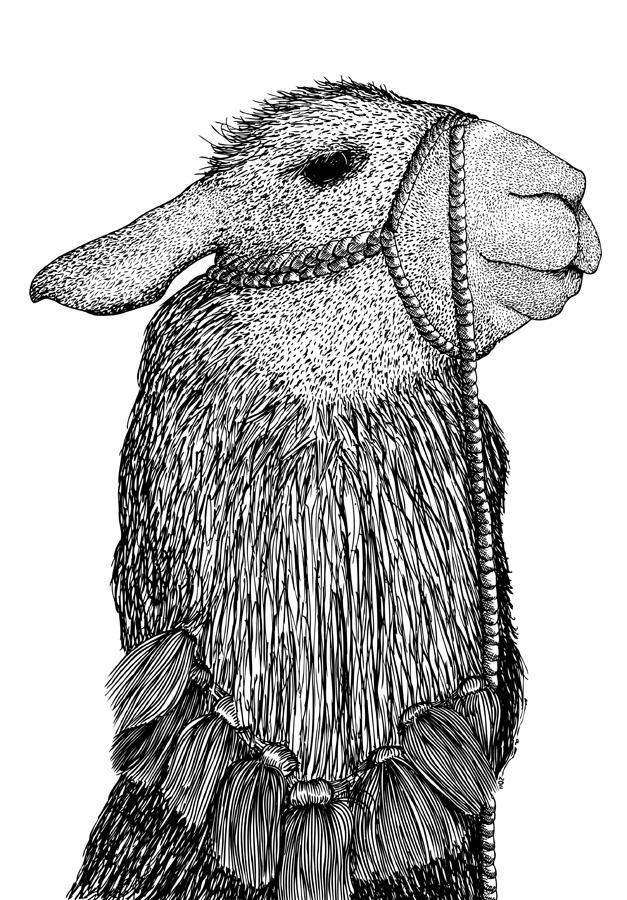 Llama Drawing Llama Face Drawing