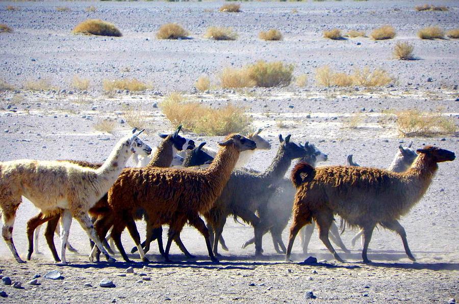 Llamas Atacama Desert by Sandra Lira
