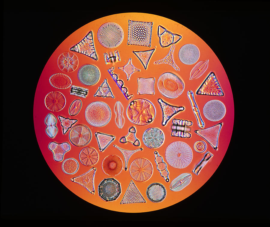 Lm Of An Array Of Marine Diatoms Photograph